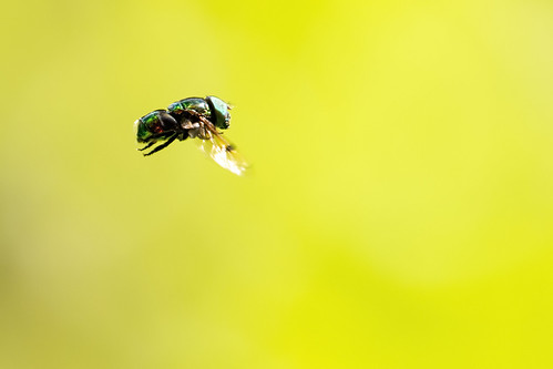 Small green metallic hoverfly | by Chris_Moody
