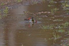 Red - browed Finch  ( quick dip )