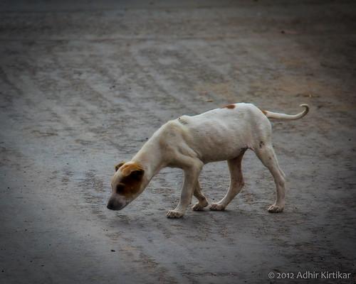 india dogs animals westbengal krishnagar