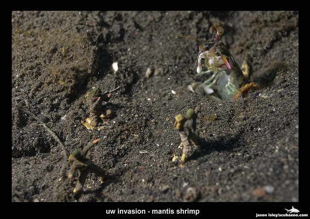uw invasion - mantis shrimp