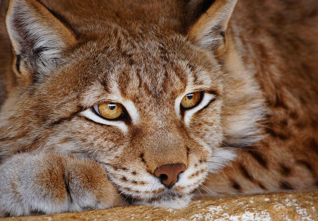 Lynx by Elena Pushkina, Vladivostok, Russia