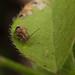 Sminthurus hispanicus