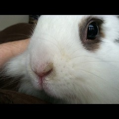 nose, animal, guinea pig, rabbit, domestic rabbit, pet, snout, whiskers, rabits and hares,