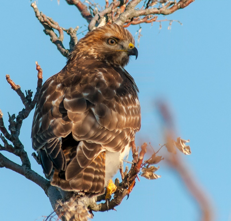 Juvenile Red shouldered Hawk 1