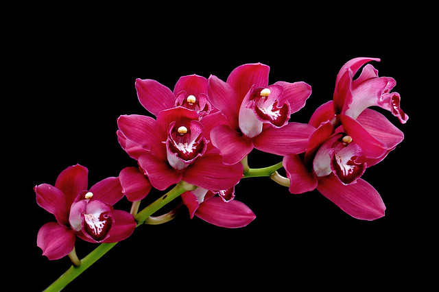 Cymbidium Dark Spirit