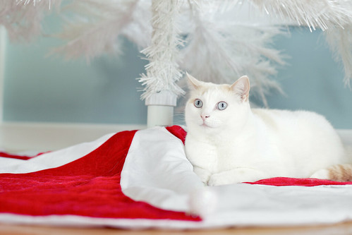 Perfect Christmas kitty pose.