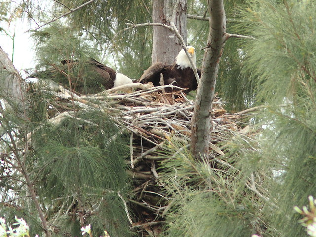 Bald Eagle male joins female on nest 0856 20121221