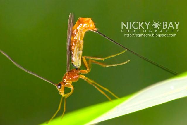 Ichneumon Wasp? (Ichneumonidae) - DSC_3595