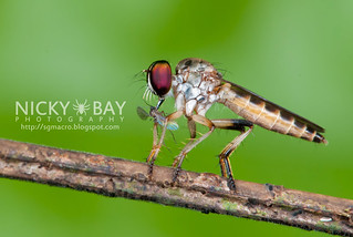 Robberfly (Asilidae) - DSC_1964