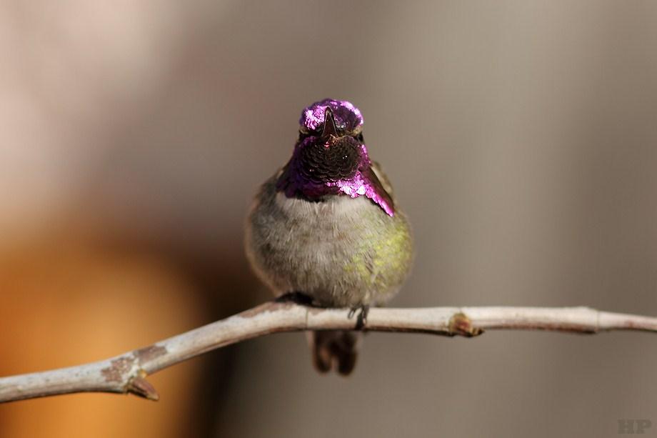Costa's X Anna's Hybrid Hummingbird 122312-3