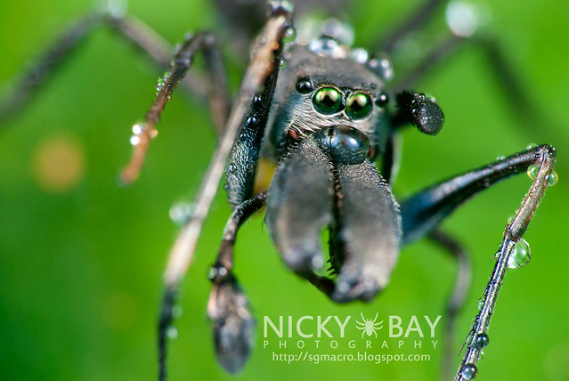 Ant-Mimic Jumping Spider (Salticidae) - DSC_0393