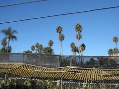 california_palm_trees77