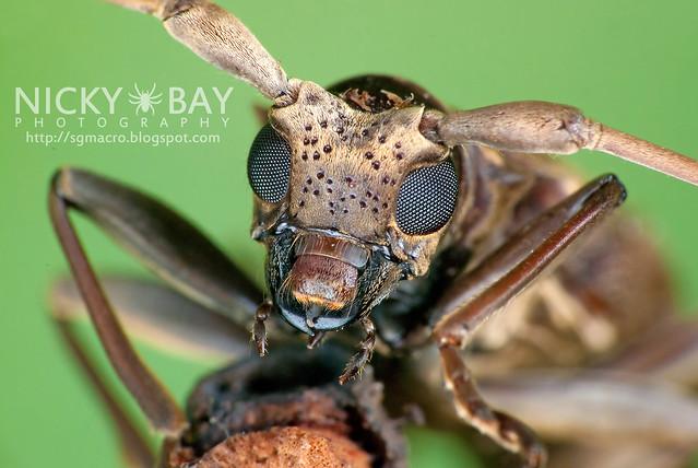 Mangrove Longhorn Beetle (Acalolepta sp.) - DSC_0990