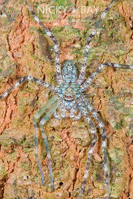 Lichen Huntsman Spider (Pandercetes sp.) - DSC_7231