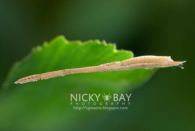 Twig-Like Feather-Legged Spider (Miagrammopes sp.) - DSC_3131