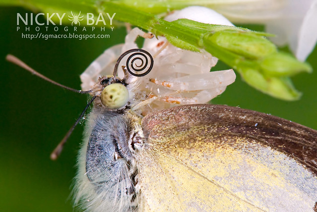 Crab Spider (Thomisidae) preying on Lemon Emigrant (Catopsilla pomona) - DSC_9465