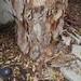 Garden Inventory: Eucalyptus - 08