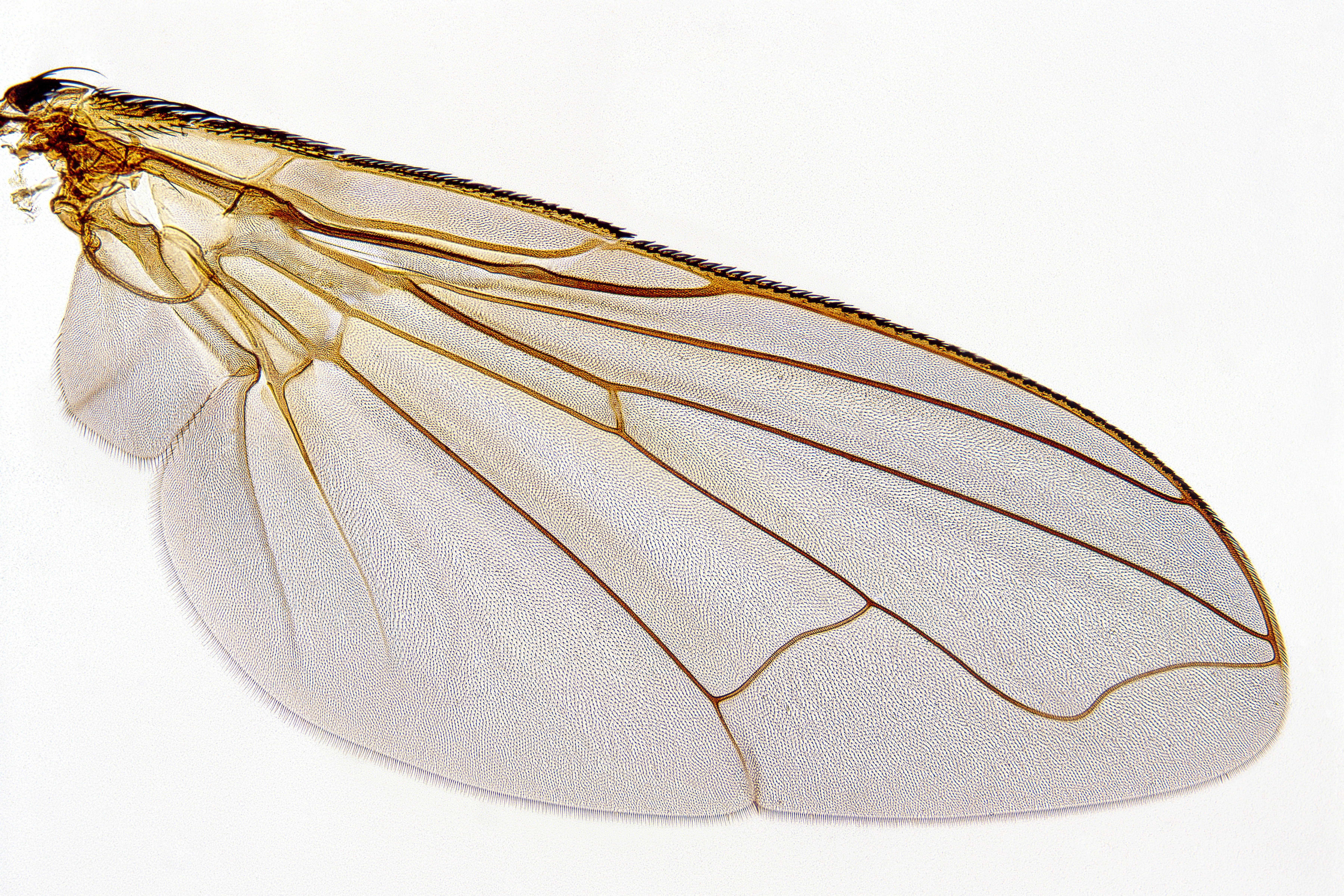 how to draw an insect wing