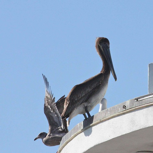 Brown Pelican and Western Gull (juv)