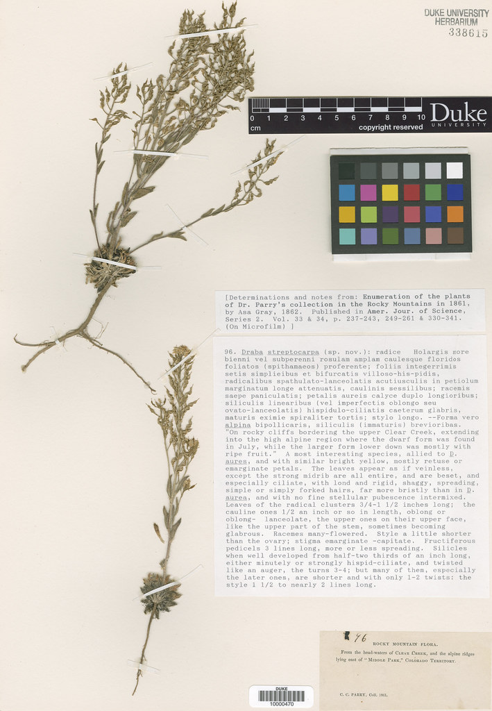 Brassicaceae_Draba streptocarpa