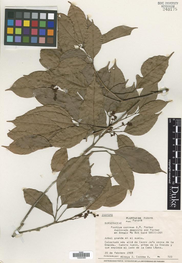 Burseraceae_Protium correae