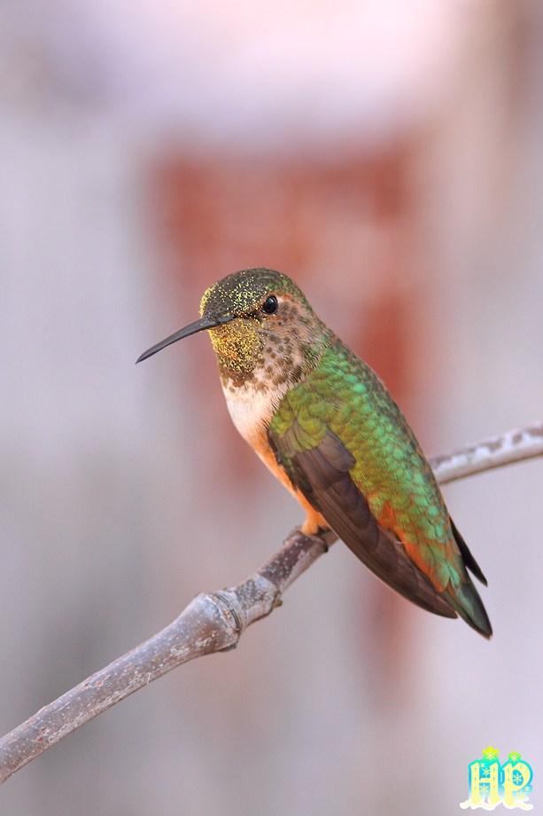Allen's Hummingbird 010213-5