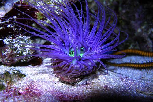 Fluorescing Purple Tube Anemone DSCN0137