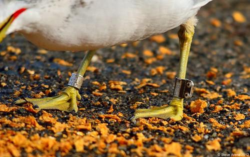 bird gull tagged banded dcr ringbilledgull worcestercounty rbgu mdfw