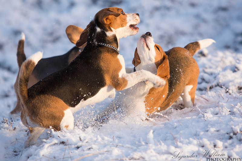 Beagles playing.