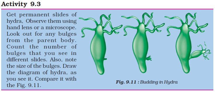 Asexual reproduction in amoeba process flow