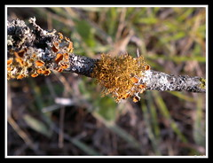 Slender Orange Bush Lichen (Teloschistes exilis)