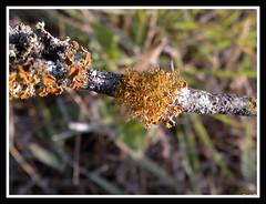 Slender Orange Bush Lichen (Teloschistes exilis)