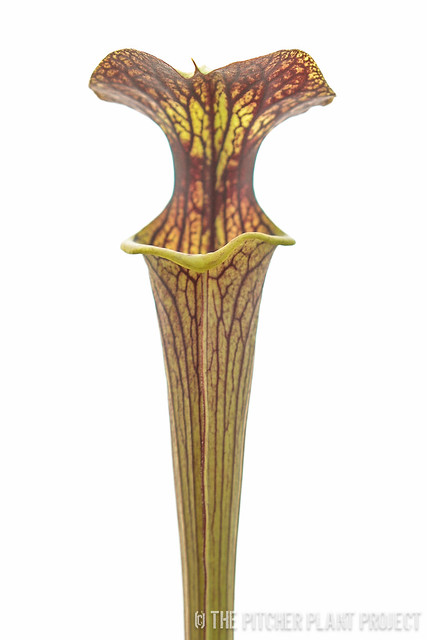 Sarracenia 'Black Widow' x flava v. ornata