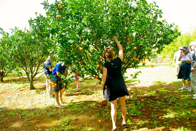 meg picking a tangerine off the tree in kauai