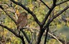 Asiatic Barred owlet