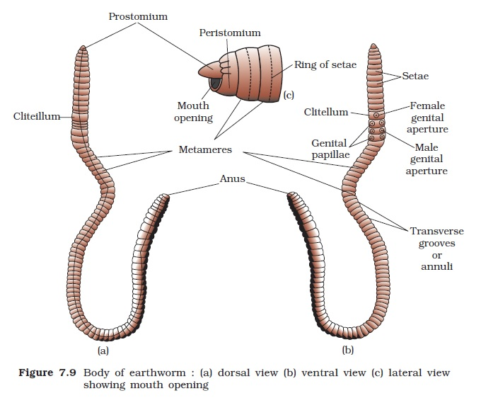 NCERT Class XI Biology: Chapter 7 – Structural Organisation in ...