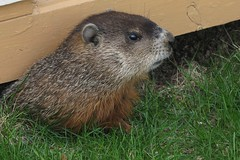 Jour de la marmotte -- Groundhog Day