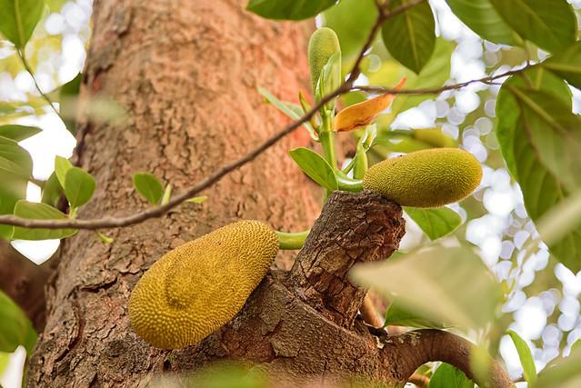 jackfruit ( Artocarpus heterophyllus )