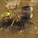 Poecilobothrus nobilitatus (male) by Martin Cooper Ipswich