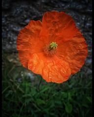 Last Poppy standing goodbye Summer hello Autumn