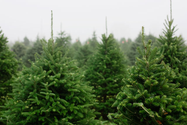 Cutting down a Christmas tree, real Christmas tree, fir tree, Canaan fir Christmas tree, Canaan fir, fir Christmas tree, tree farm, Christmas tree farm, Christmas tradition, Christmas tree tradition, Indiana tree farm