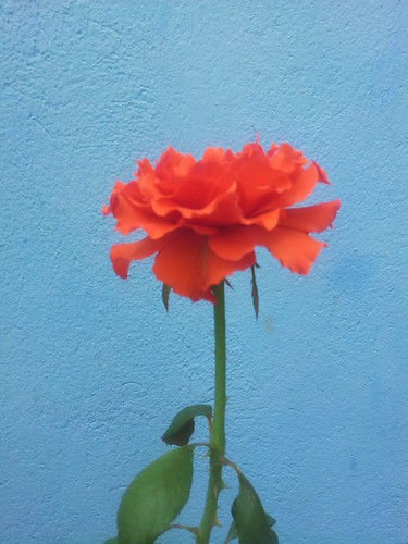 Uma Rosa Com Carinho by Rogsil