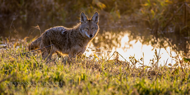 Early Day Coyote