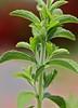 Stevia rebaudiana, Sweet Leaf, Sweet Herb