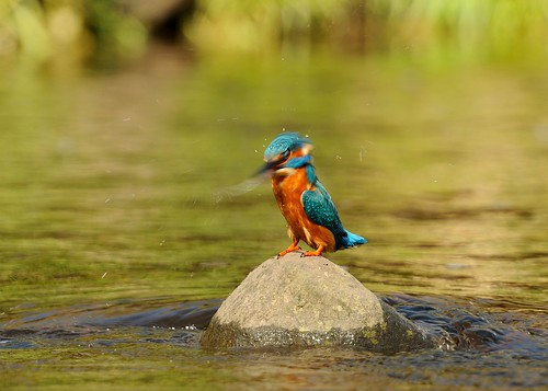 Kingfisher head drying by Andy Pritchard - Barrowford