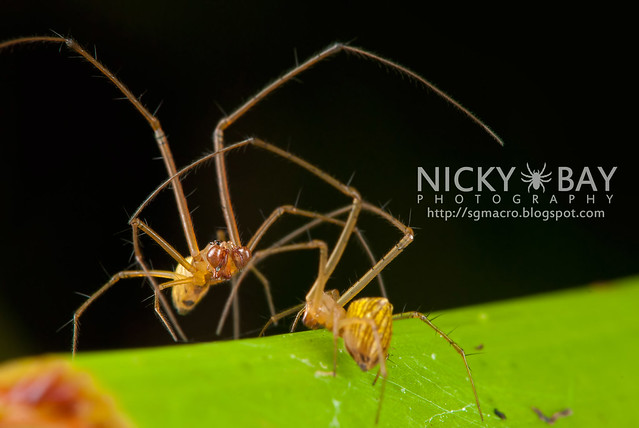 Striated Tylorida Spiders (Tylorida striata) - DSC_3236