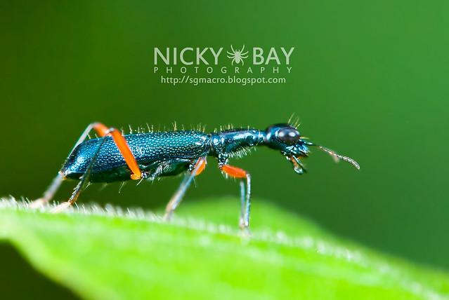 Tiger Beetle (Cicindelinae) - DSC_2890