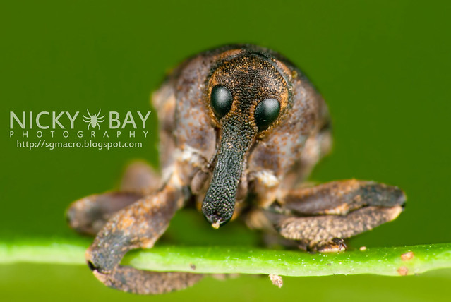 Weevil (Curculionidae) - DSC_2530