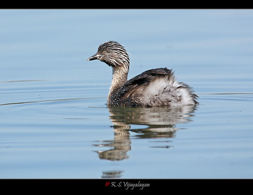 Hoary-headed Grebe