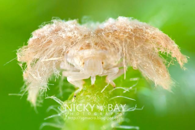 Planthopper (Fulgoromorpha) - DSC_1533